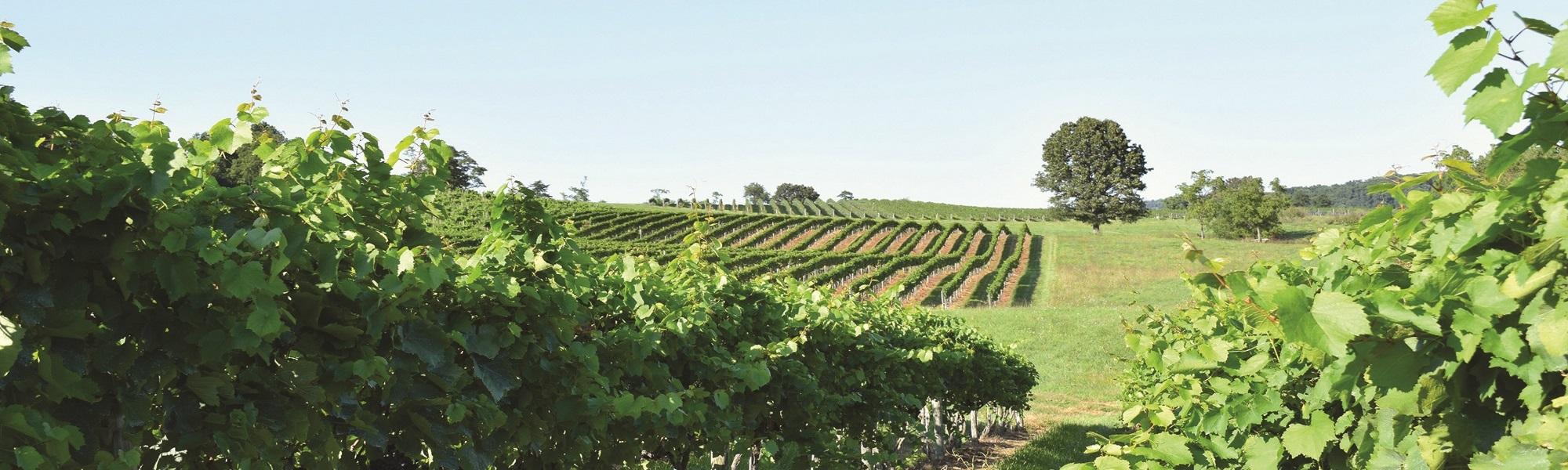 Shenendoah Valley Winery - Vineyard 2
