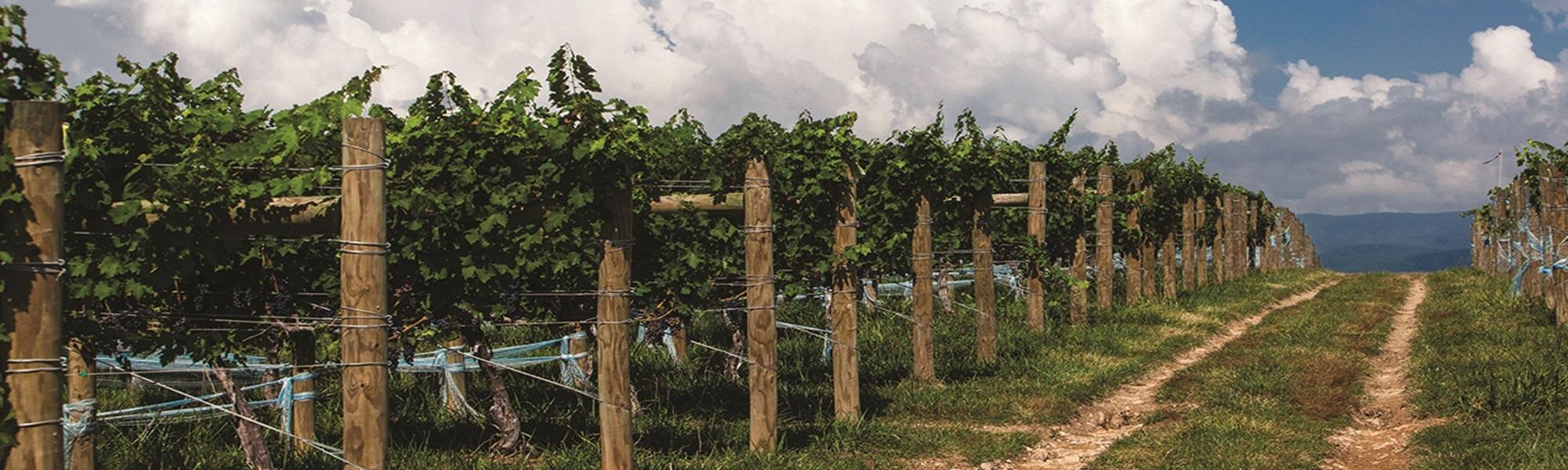 Shenendoah Valley Winery - Vinyard